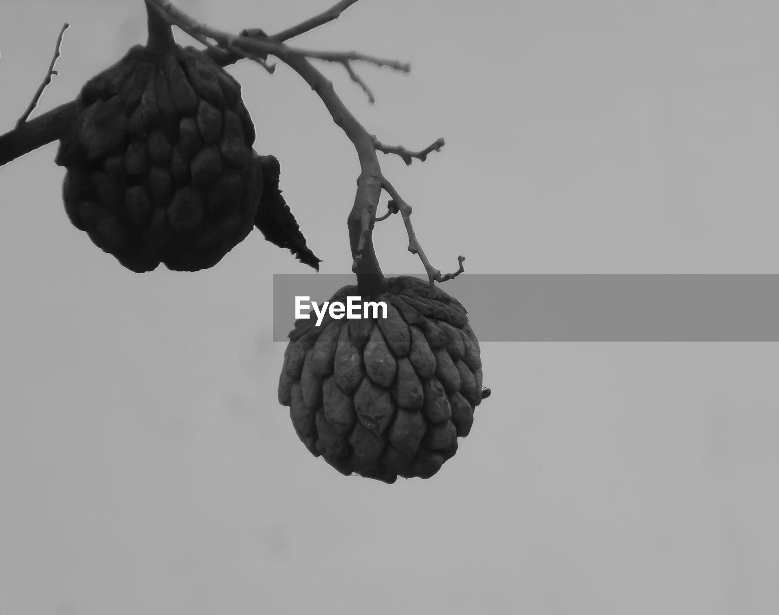 Close-up of custard apple hanging on stems