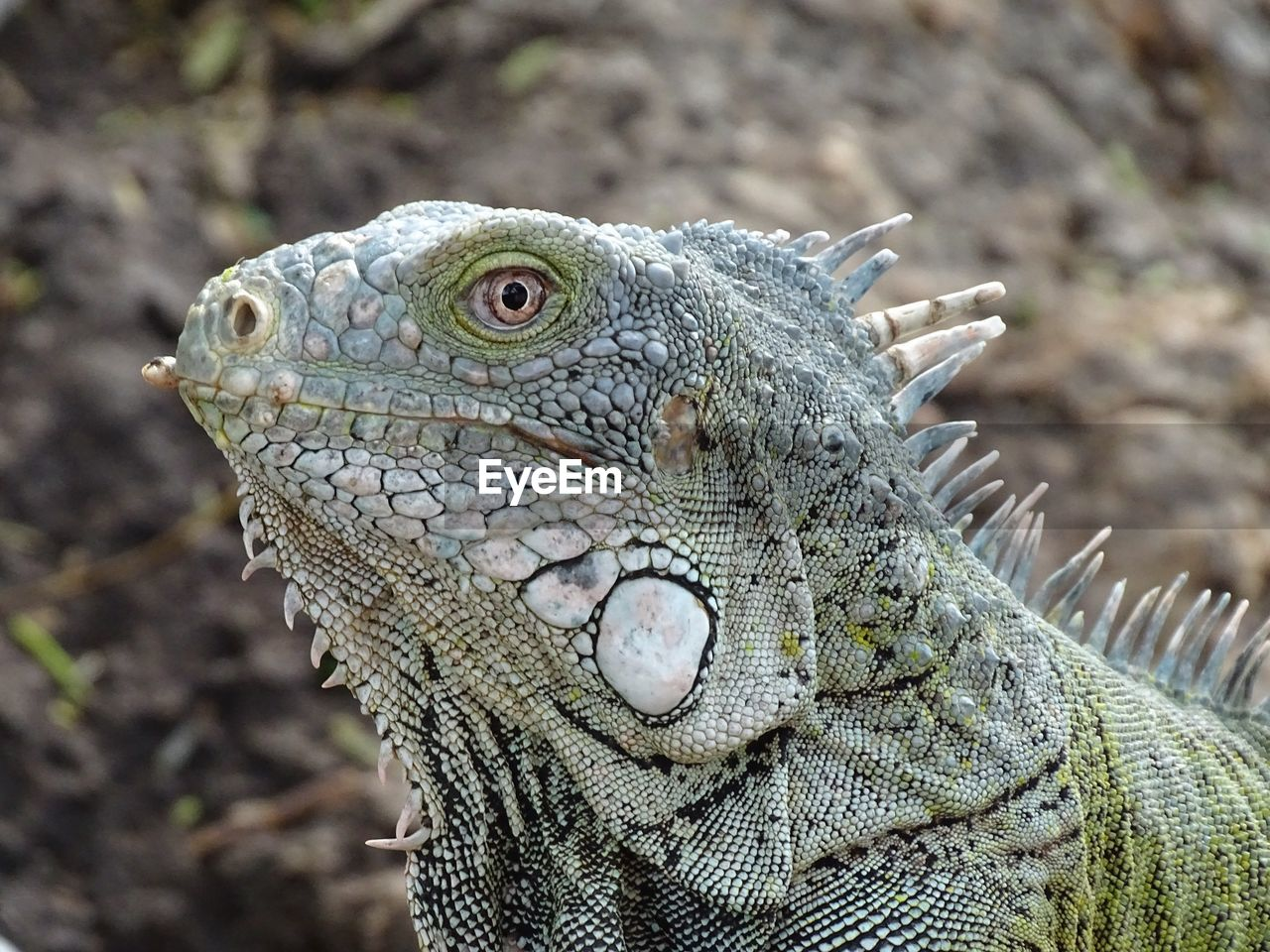 animal themes, animal, one animal, animals in the wild, animal wildlife, focus on foreground, close-up, lizard, iguana, vertebrate, reptile, no people, day, animal body part, animal head, nature, side view, natural pattern, animal scale, bearded dragon, animal eye