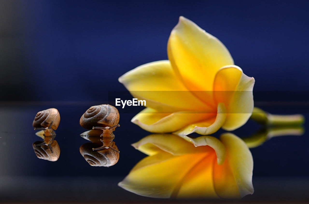 Close-up of yellow flower with snails on table against blue background