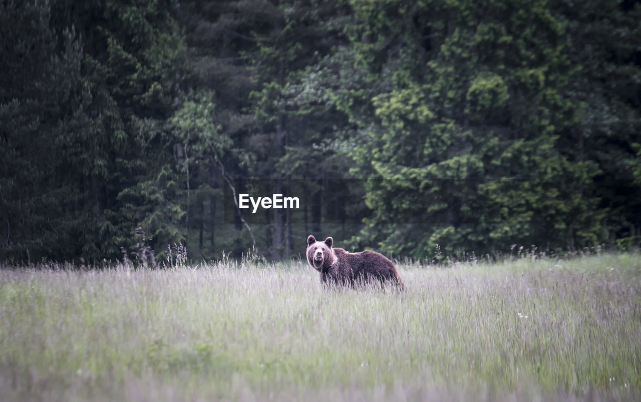 Grizzly Bear Walking On Grassy Field Against Trees
