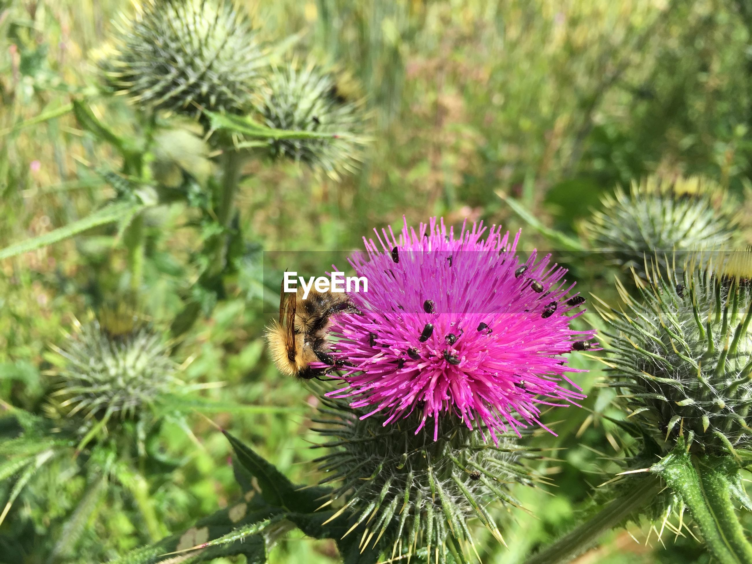 Close-up of bee with insects perching on scottish thistle
