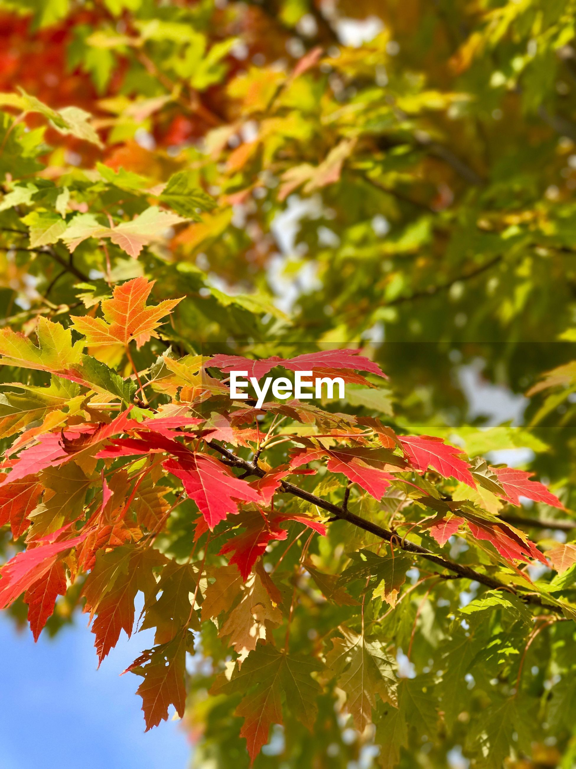 LOW ANGLE VIEW OF RED MAPLE LEAVES ON TREE