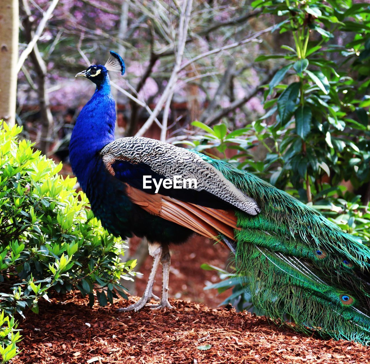 bird, animal themes, animal, vertebrate, one animal, animal wildlife, peacock, animals in the wild, plant, nature, day, no people, focus on foreground, green color, tree, male animal, blue, beauty in nature, feather, leaf, outdoors