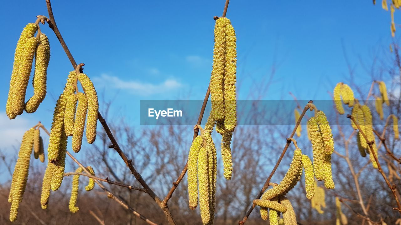 plant, yellow, growth, close-up, no people, beauty in nature, nature, day, focus on foreground, sky, pussy willow, tranquility, outdoors, agriculture, crop, flower, hanging, green color, sunlight, flowering plant