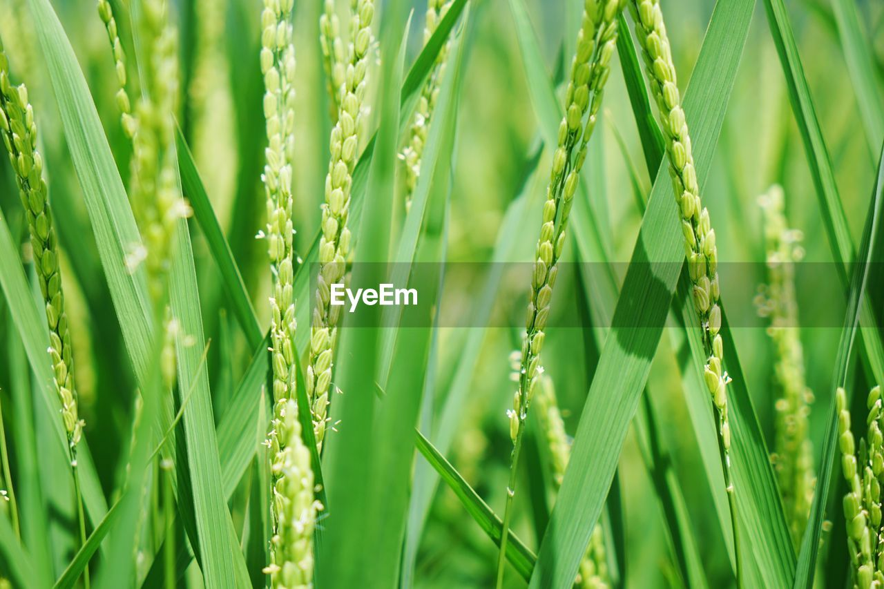 green color, growth, nature, grass, close-up, plant, day, field, no people, backgrounds, full frame, beauty in nature, outdoors, ear of wheat, freshness, fragility