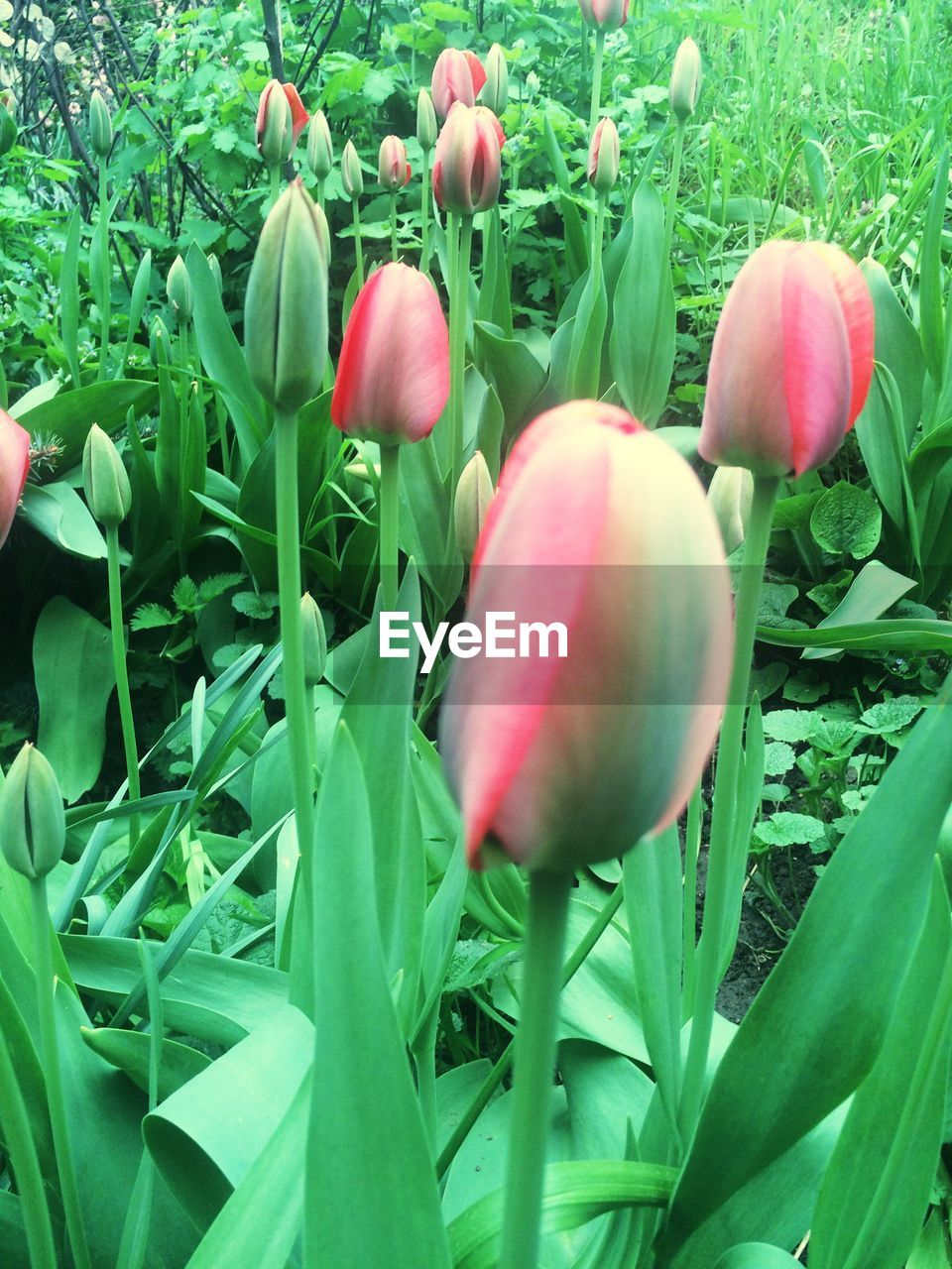 growth, nature, freshness, plant, green color, tulip, flower, beauty in nature, leaf, no people, outdoors, day, food, close-up