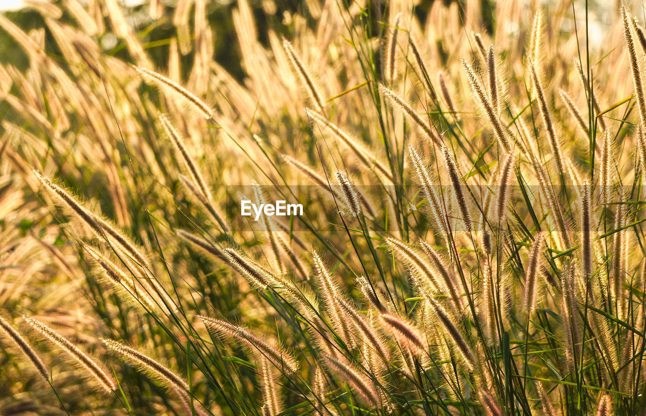 growth, plant, agriculture, crop, cereal plant, field, rural scene, land, farm, landscape, nature, no people, beauty in nature, wheat, close-up, full frame, backgrounds, day, tranquility, focus on foreground, outdoors, stalk