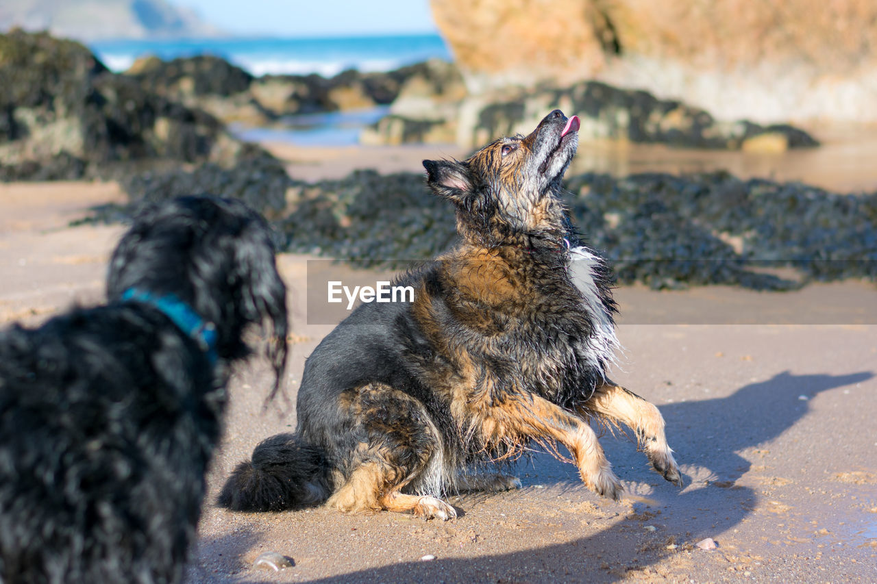 Close-up of dogs at beach