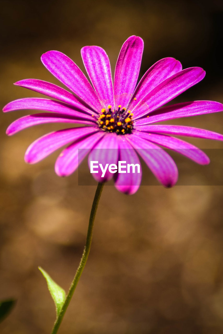 flower, fragility, petal, growth, flower head, freshness, beauty in nature, nature, pollen, plant, blooming, focus on foreground, no people, close-up, day, outdoors, osteospermum, zinnia