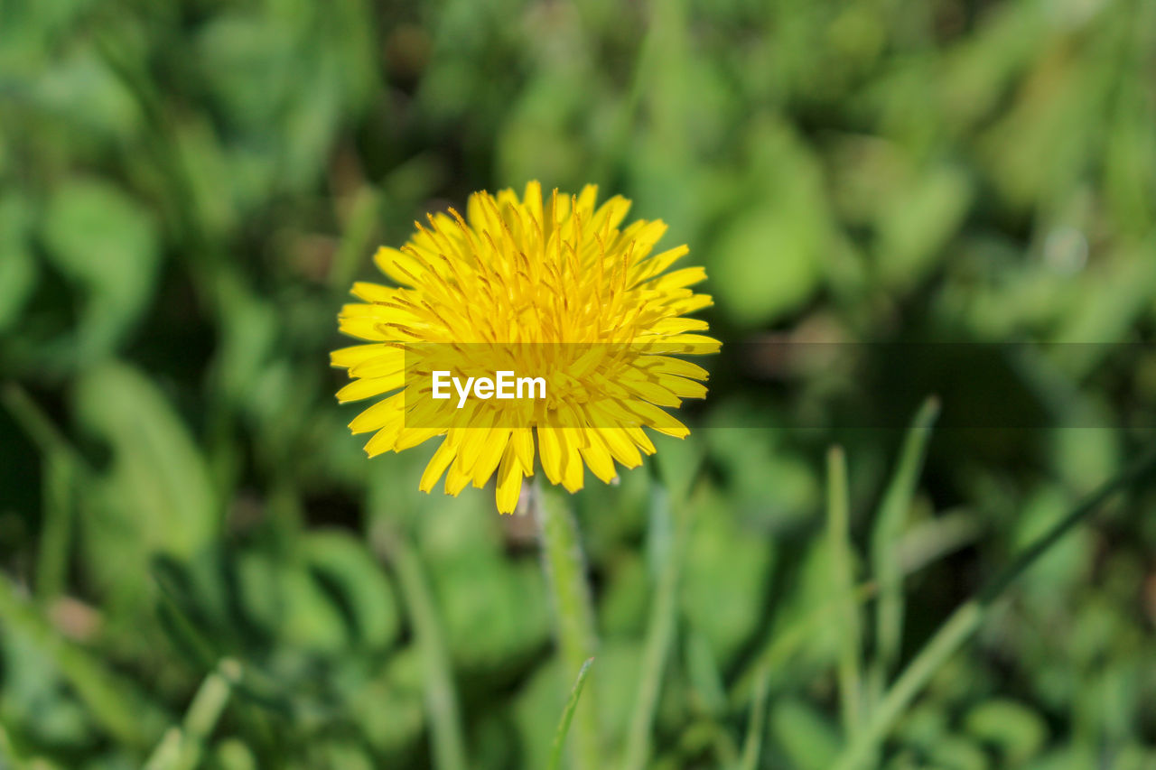 flower, plant, flowering plant, yellow, beauty in nature, fragility, vulnerability, growth, freshness, petal, flower head, inflorescence, close-up, focus on foreground, day, nature, field, no people, land, outdoors, pollen