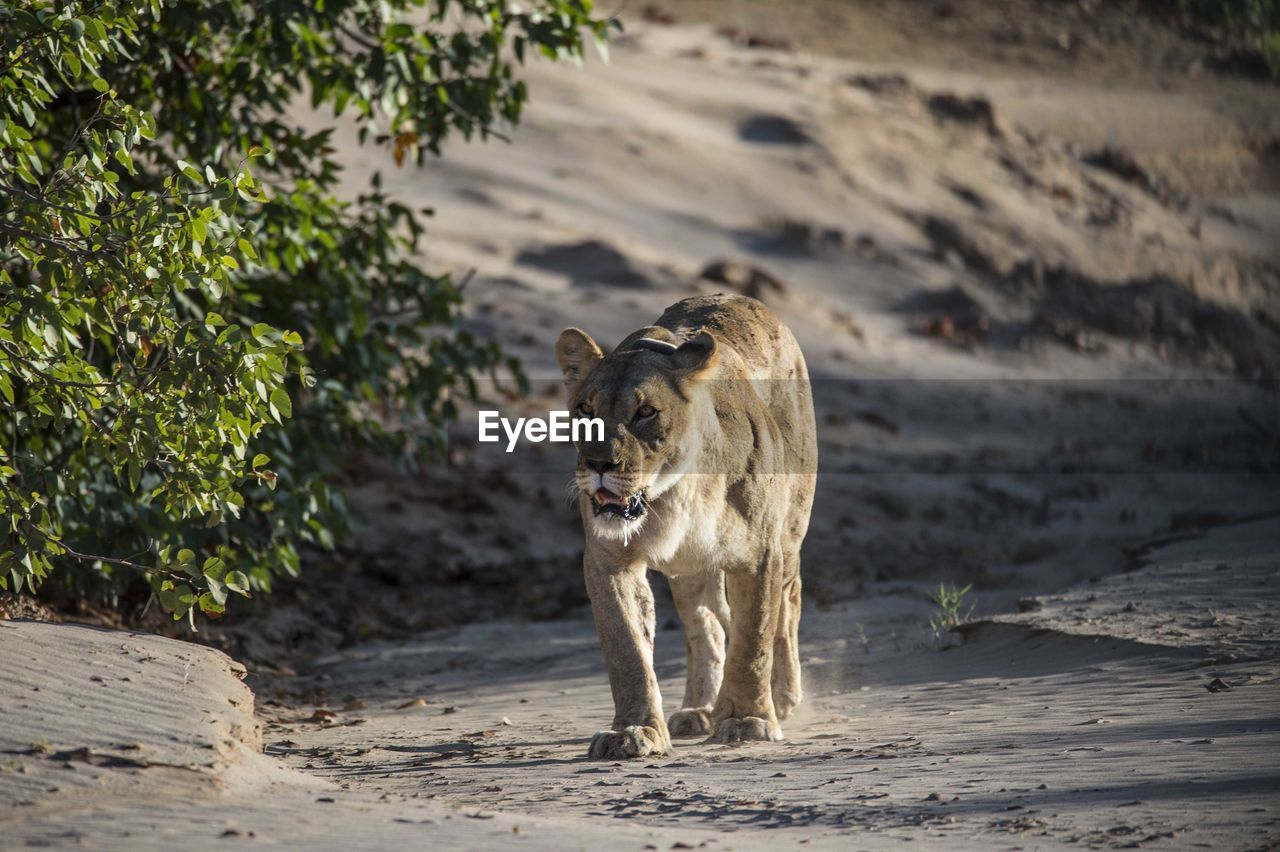 mammal, animal themes, one animal, land, animal, vertebrate, pets, nature, domestic animals, sand, day, domestic, dog, canine, animal wildlife, no people, animals in the wild, focus on foreground, big cat, walking, outdoors