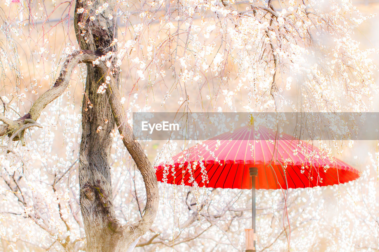 tree, umbrella, red, cold temperature, nature, protection, plant, snow, winter, beauty in nature, security, cherry blossom, outdoors, branch, parasol, wet, tranquil scene, springtime, holiday, no people, extreme weather, rain, cherry tree, snowing