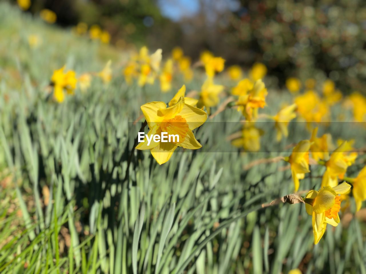 flowering plant, plant, flower, growth, yellow, vulnerability, fragility, beauty in nature, freshness, close-up, petal, nature, flower head, inflorescence, focus on foreground, no people, field, day, land, daffodil, outdoors