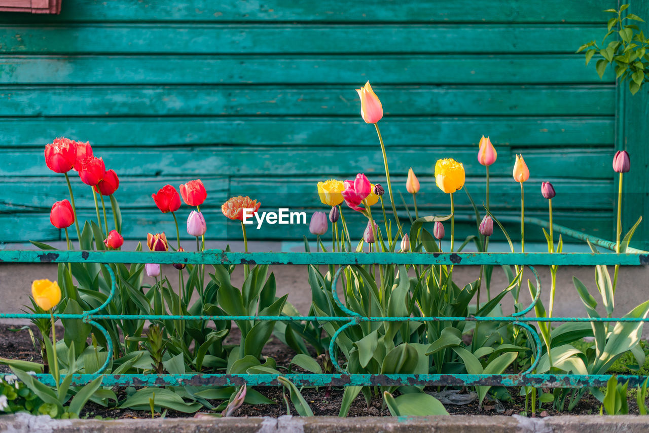 plant, flower, freshness, flowering plant, growth, nature, day, green color, no people, fragility, leaf, beauty in nature, vulnerability, plant part, petal, outdoors, architecture, close-up, wood - material, plant stem, flower head, flower pot, gardening