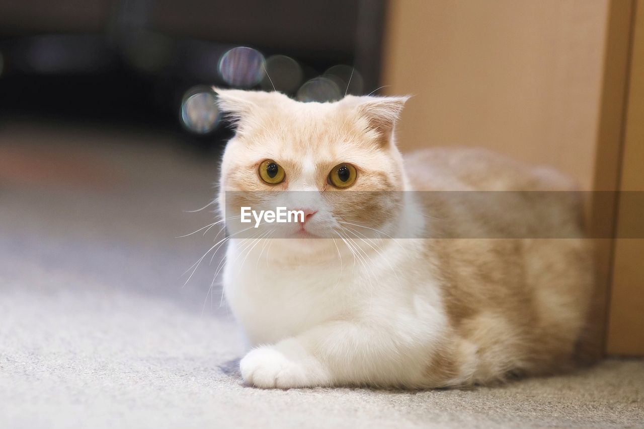 domestic, pets, animal themes, domestic animals, animal, one animal, mammal, domestic cat, cat, feline, vertebrate, portrait, indoors, looking at camera, whisker, no people, focus on foreground, home interior, young animal, sitting, animal eye