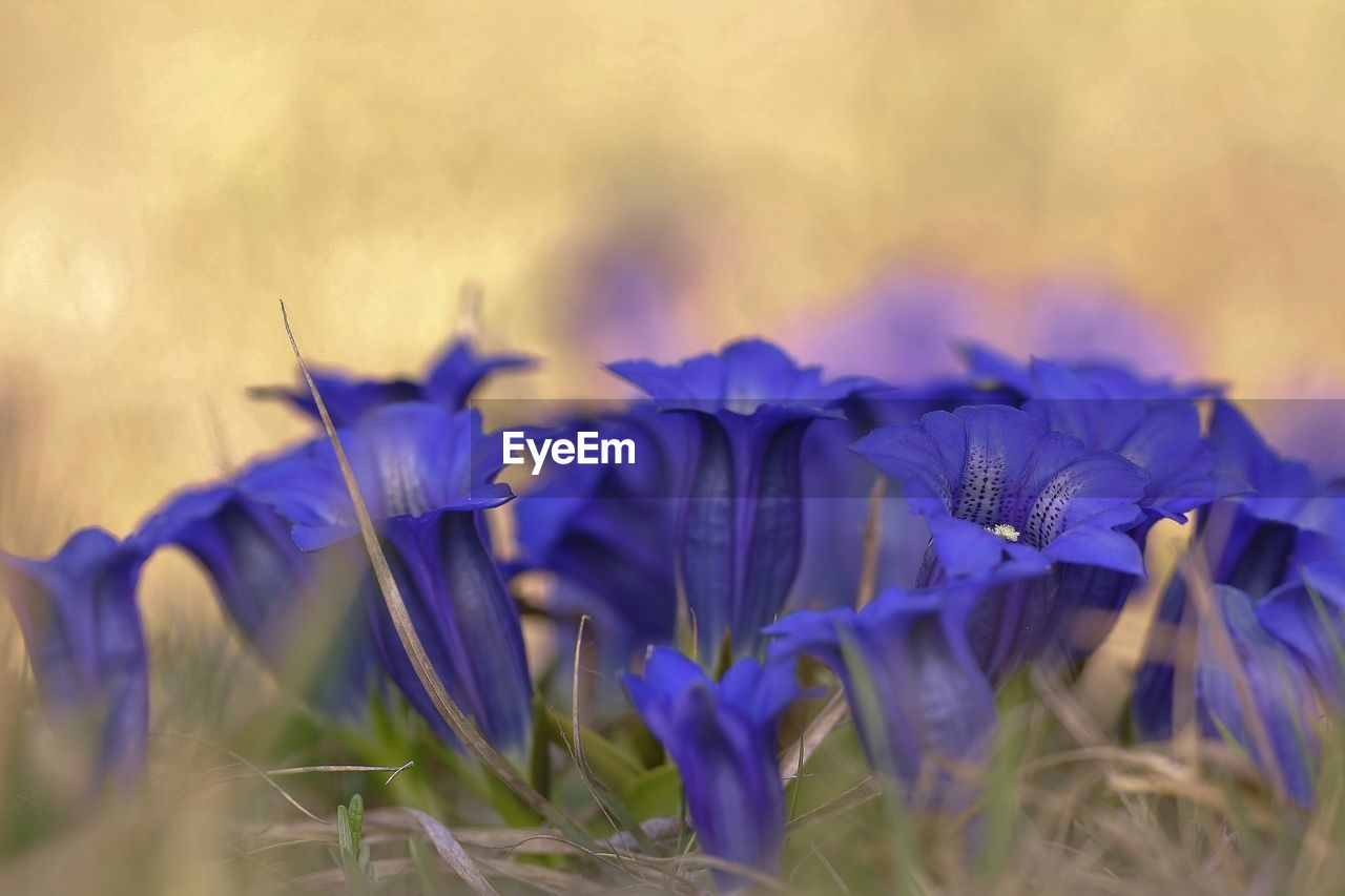 flower, flowering plant, vulnerability, beauty in nature, plant, fragility, freshness, close-up, purple, growth, petal, selective focus, nature, flower head, inflorescence, blue, no people, land, day, field, crocus
