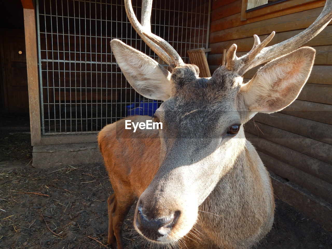 CLOSE-UP OF A DEER IN ZOO
