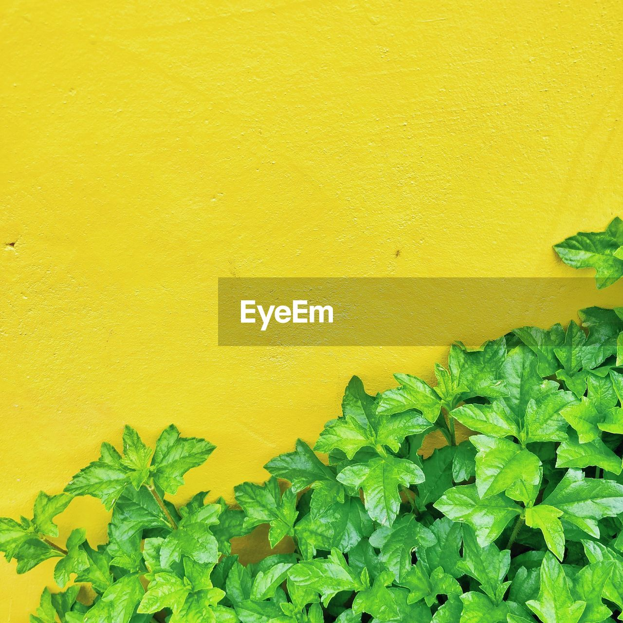 Leaves Against Yellow Wall
