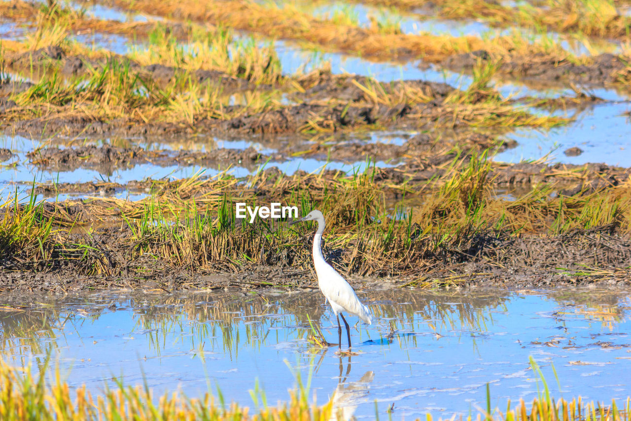 one animal, bird, animals in the wild, water, animal themes, heron, animal wildlife, reflection, lake, day, nature, gray heron, great egret, outdoors, no people, egret, plant, crane - bird, beauty in nature, grass