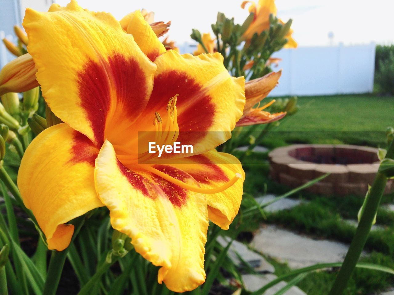 flower, petal, freshness, fragility, flower head, beauty in nature, nature, growth, plant, close-up, outdoors, no people, blooming, day, day lily, yellow, grass, water