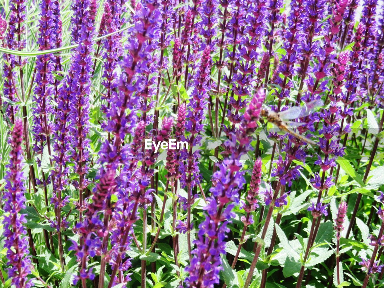 purple, flower, growth, beauty in nature, nature, plant, lavender, full frame, day, outdoors, no people, fragility, backgrounds, scented, freshness, springtime, blooming, close-up