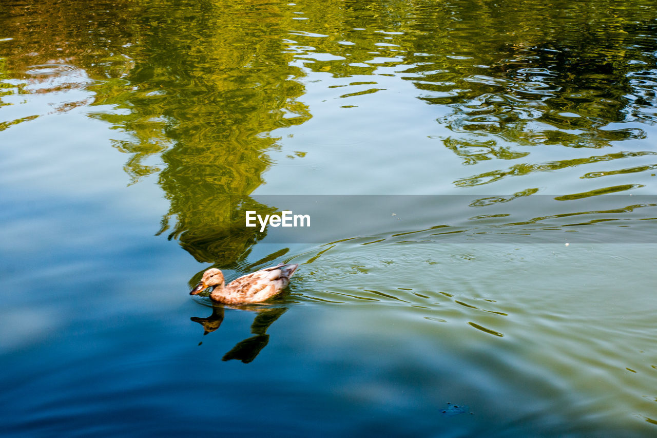 water, animal, animal themes, animals in the wild, animal wildlife, lake, one animal, swimming, high angle view, waterfront, vertebrate, nature, day, no people, outdoors, bird, reflection, beauty in nature, motion, floating on water, marine