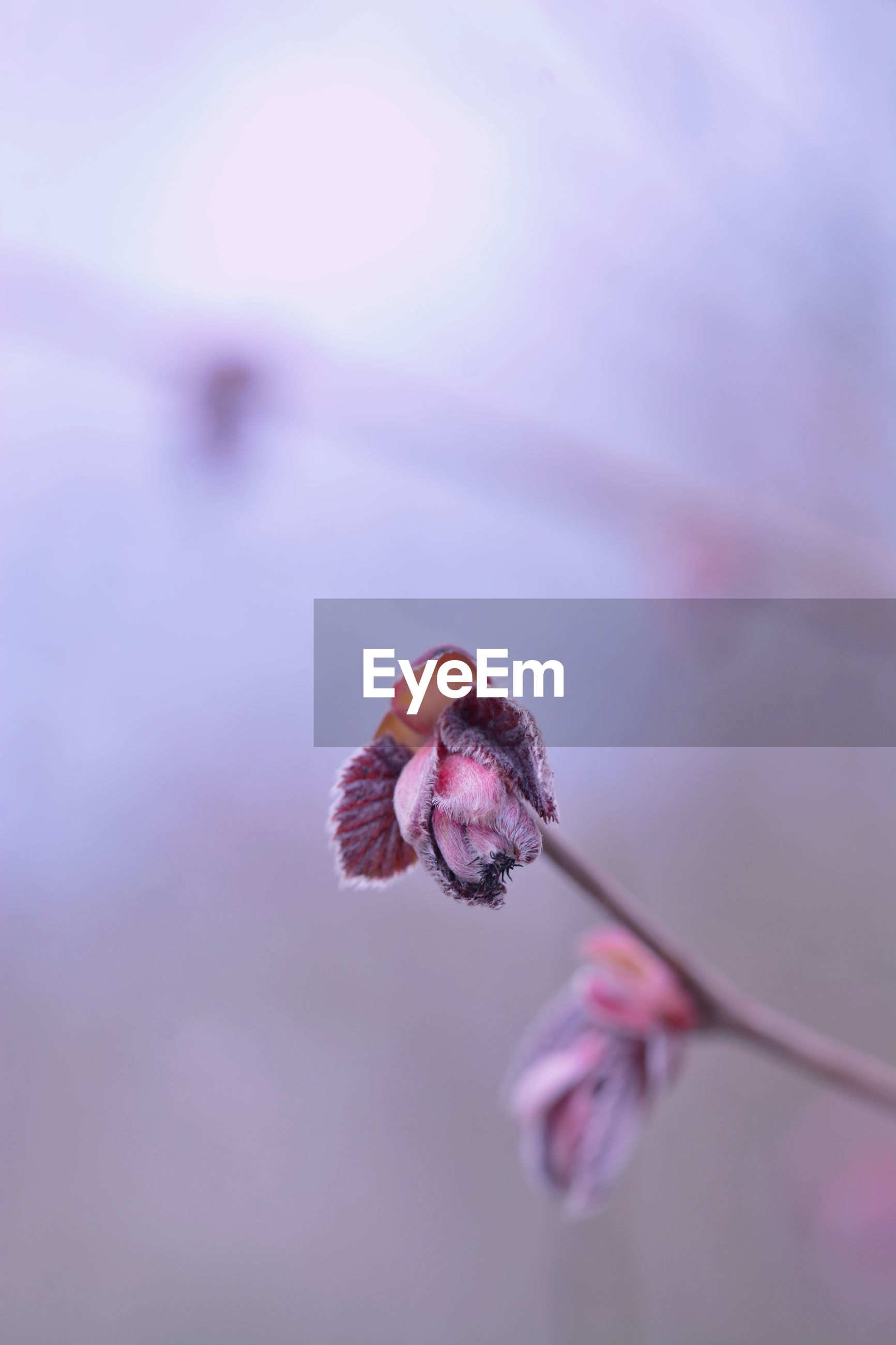 Close-up of pink flower buds on twig