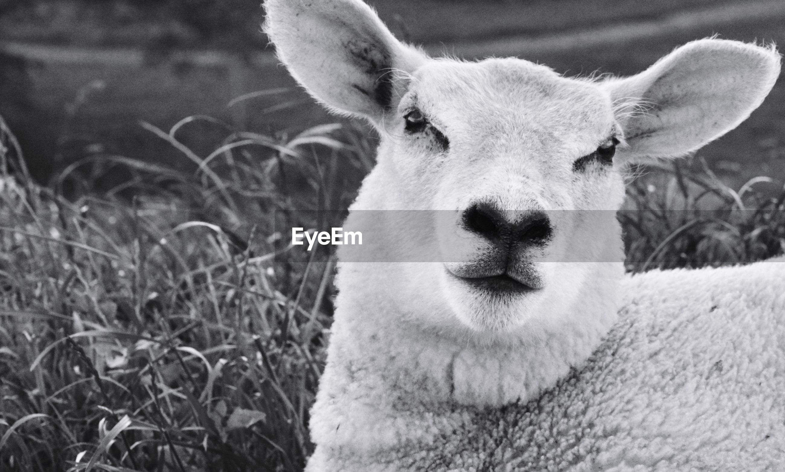 CLOSE-UP PORTRAIT OF A SHEEP ON FIELD