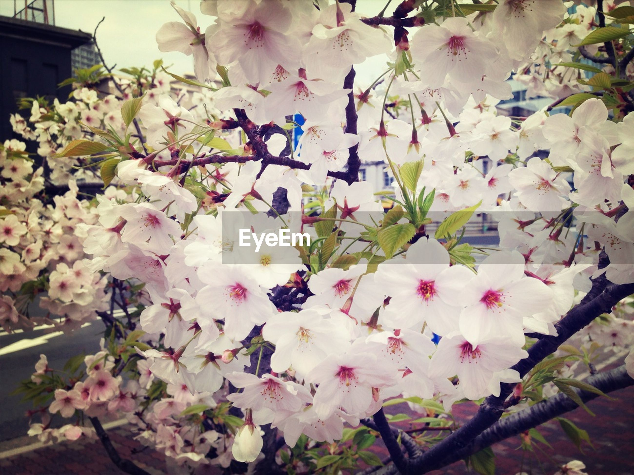 flower, freshness, fragility, petal, growth, pink color, beauty in nature, blossom, nature, blooming, in bloom, branch, cherry blossom, cherry tree, flower head, low angle view, white color, springtime, tree, plant