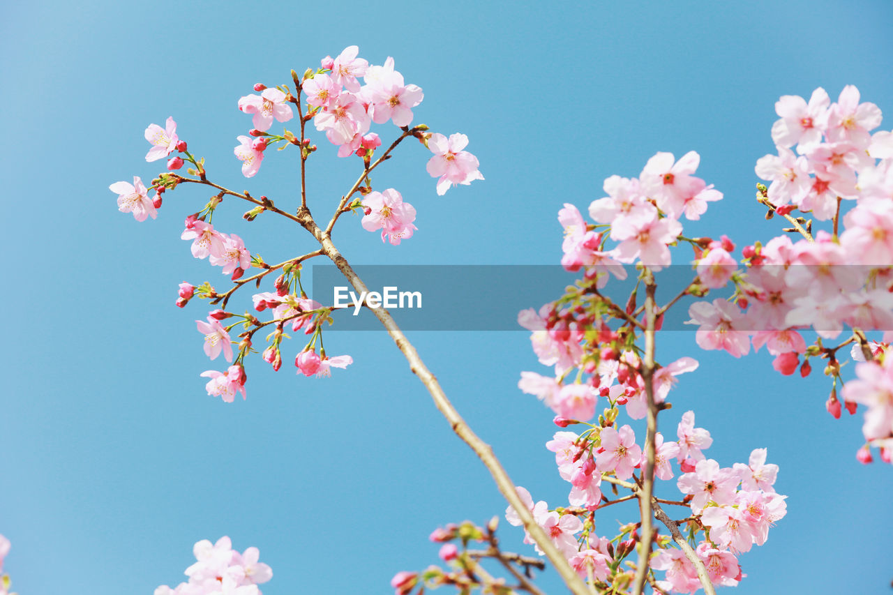 flowering plant, flower, plant, beauty in nature, fragility, freshness, vulnerability, growth, pink color, low angle view, sky, nature, tree, blossom, springtime, branch, petal, day, close-up, no people, cherry blossom, outdoors, cherry tree, flower head, spring