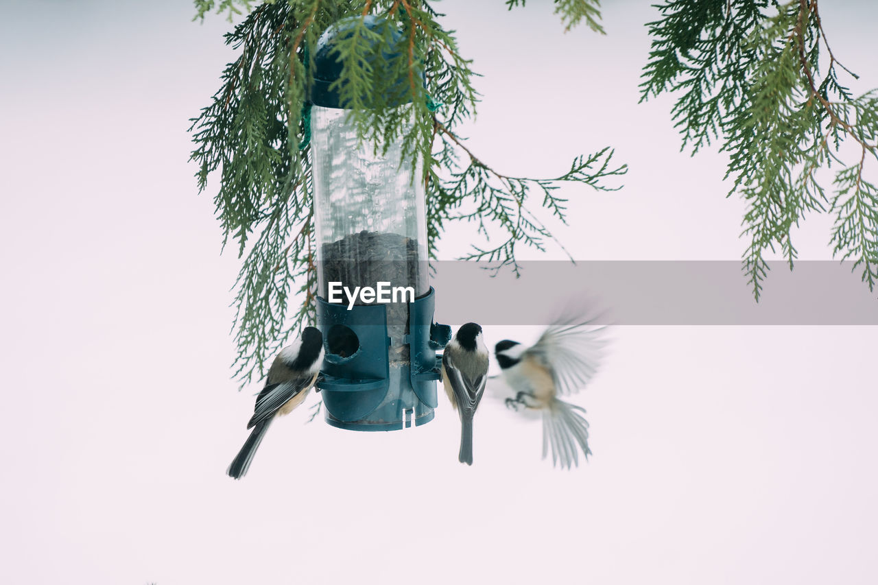 Low Angle View Of Chickadees Feeding On Tree Against Sky