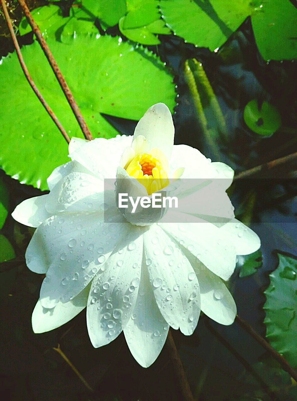 flower, beauty in nature, drop, petal, freshness, nature, wet, water, growth, fragility, flower head, leaf, day, green color, close-up, outdoors, plant, blooming, no people