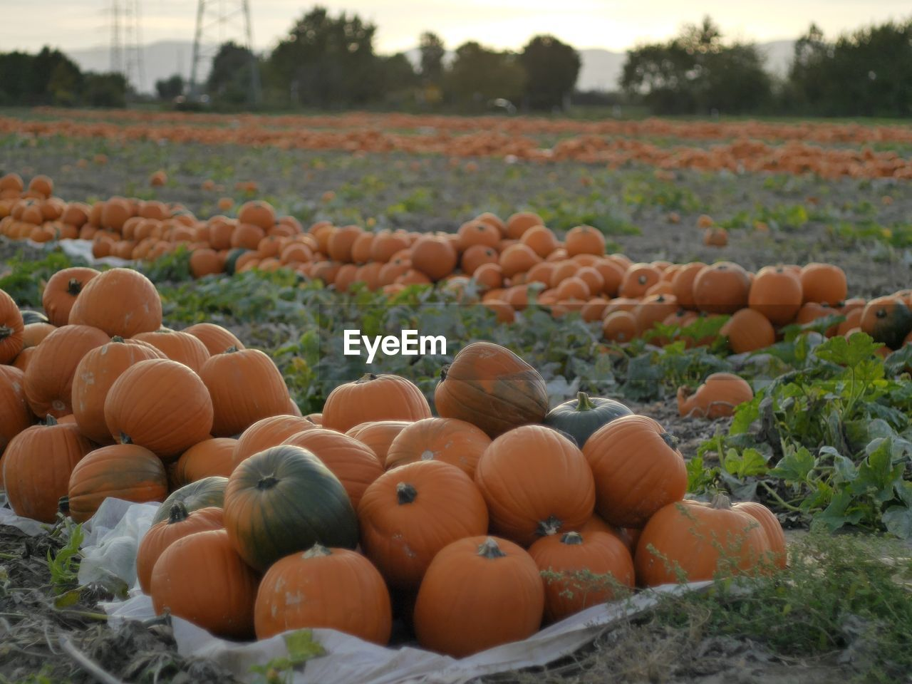 field, vegetable, pumpkin, day, outdoors, no people, nature, abundance, food and drink, agriculture, food, large group of objects, growth, freshness, grass, beauty in nature, close-up