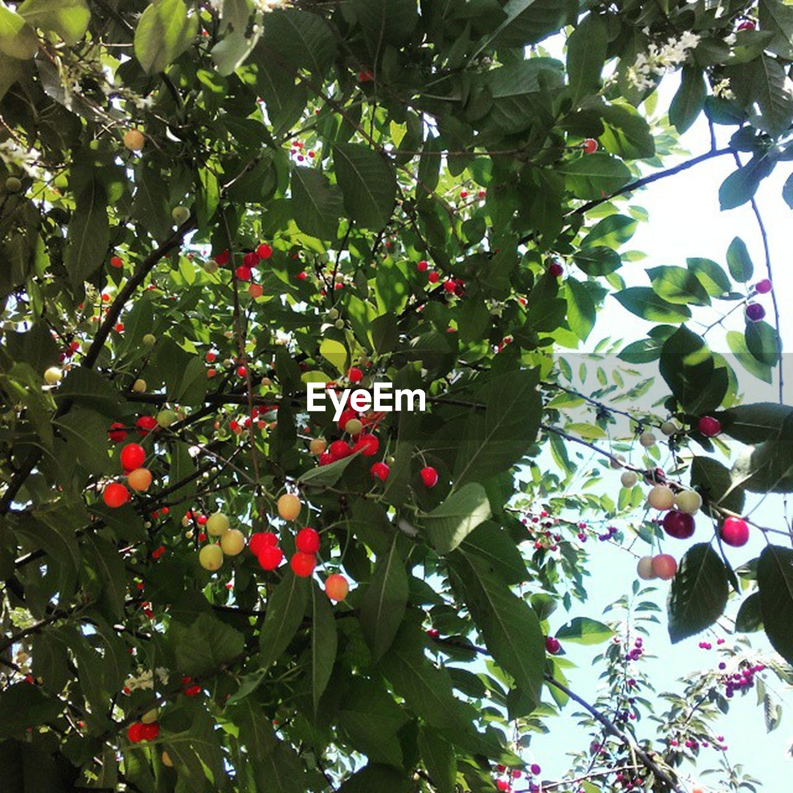 fruit, tree, branch, red, food and drink, leaf, growth, freshness, food, low angle view, healthy eating, berry fruit, nature, berry, cherry, ripe, close-up, hanging, beauty in nature, day
