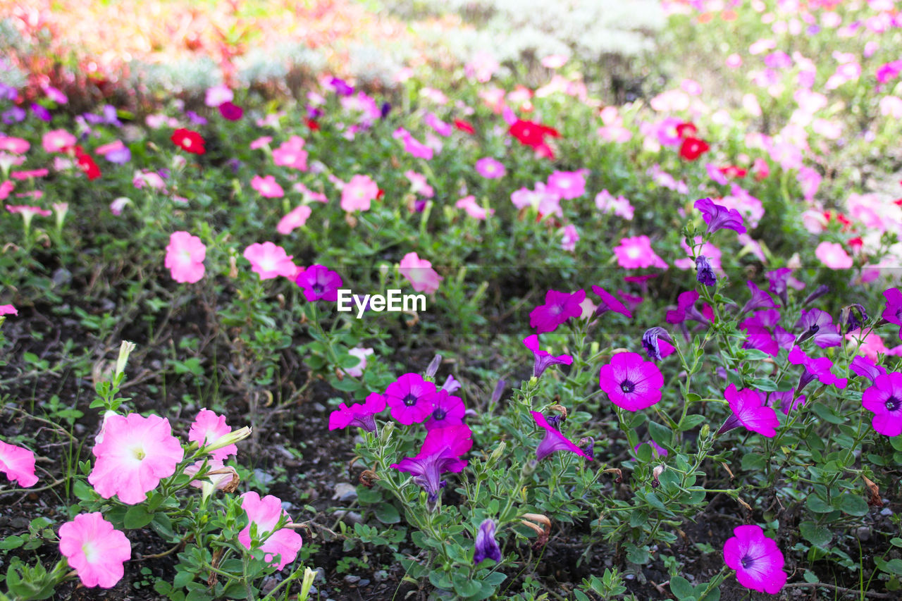 flower, pink color, growth, nature, plant, fragility, beauty in nature, petal, freshness, flower head, outdoors, no people, field, day, purple, springtime, flowerbed, blooming, leaf, close-up, grass, petunia, crocus
