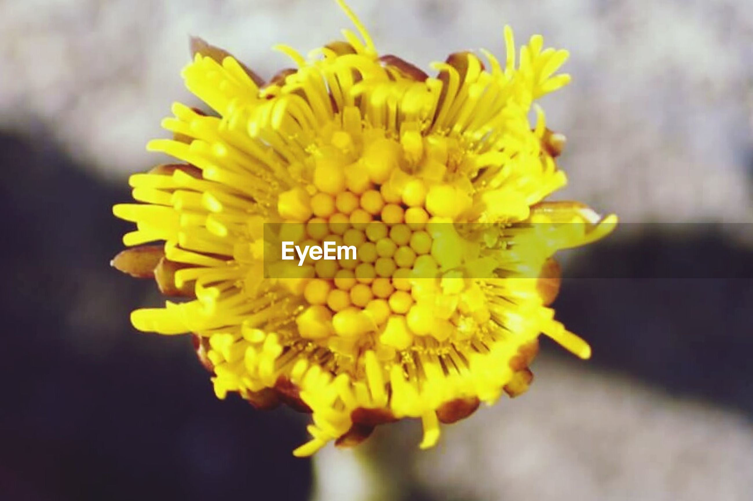 flower, yellow, petal, freshness, flower head, fragility, close-up, growth, focus on foreground, beauty in nature, blooming, pollen, nature, single flower, plant, sunflower, in bloom, selective focus, outdoors, day