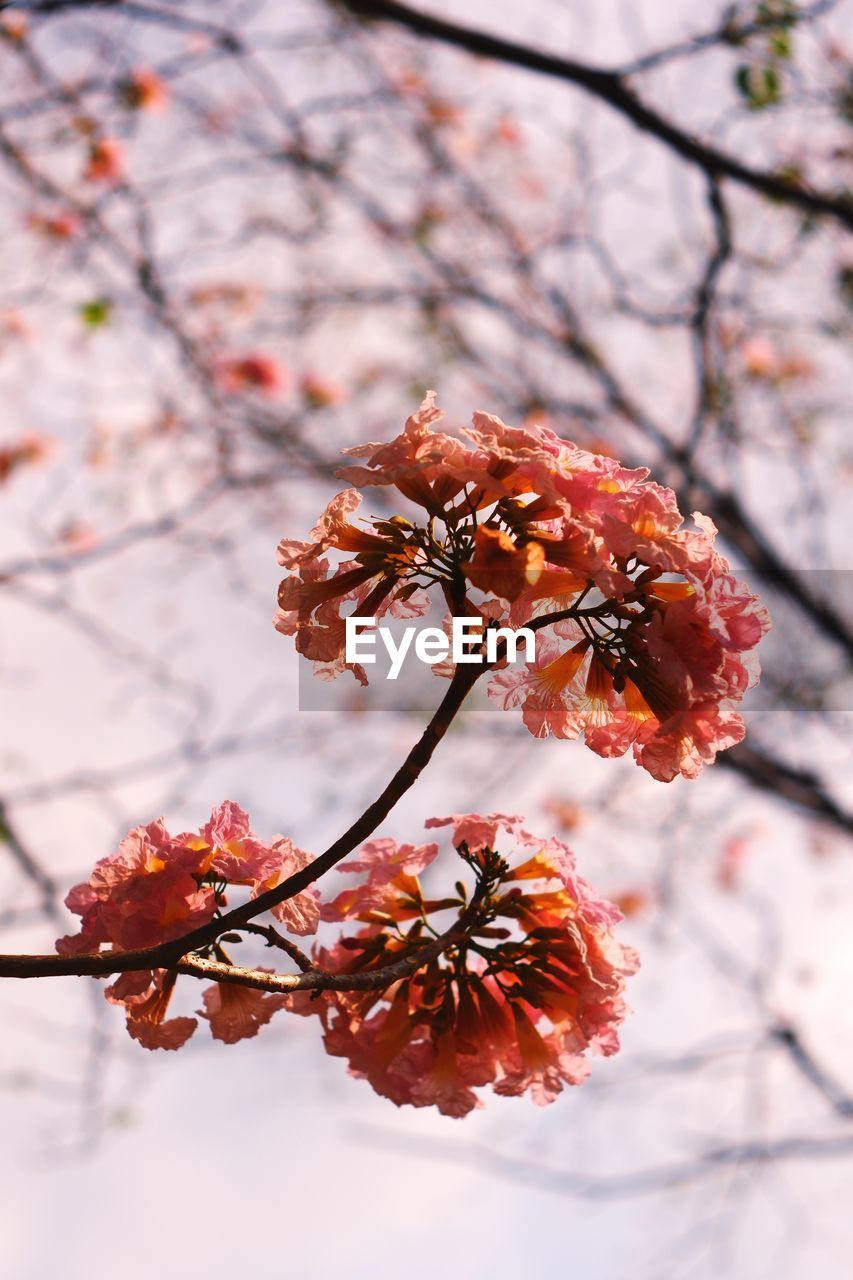 plant, flower, flowering plant, fragility, tree, growth, blossom, vulnerability, freshness, beauty in nature, springtime, cherry blossom, focus on foreground, close-up, branch, twig, nature, no people, cherry tree, day, flower head, outdoors, pollen, plum blossom, bunch of flowers
