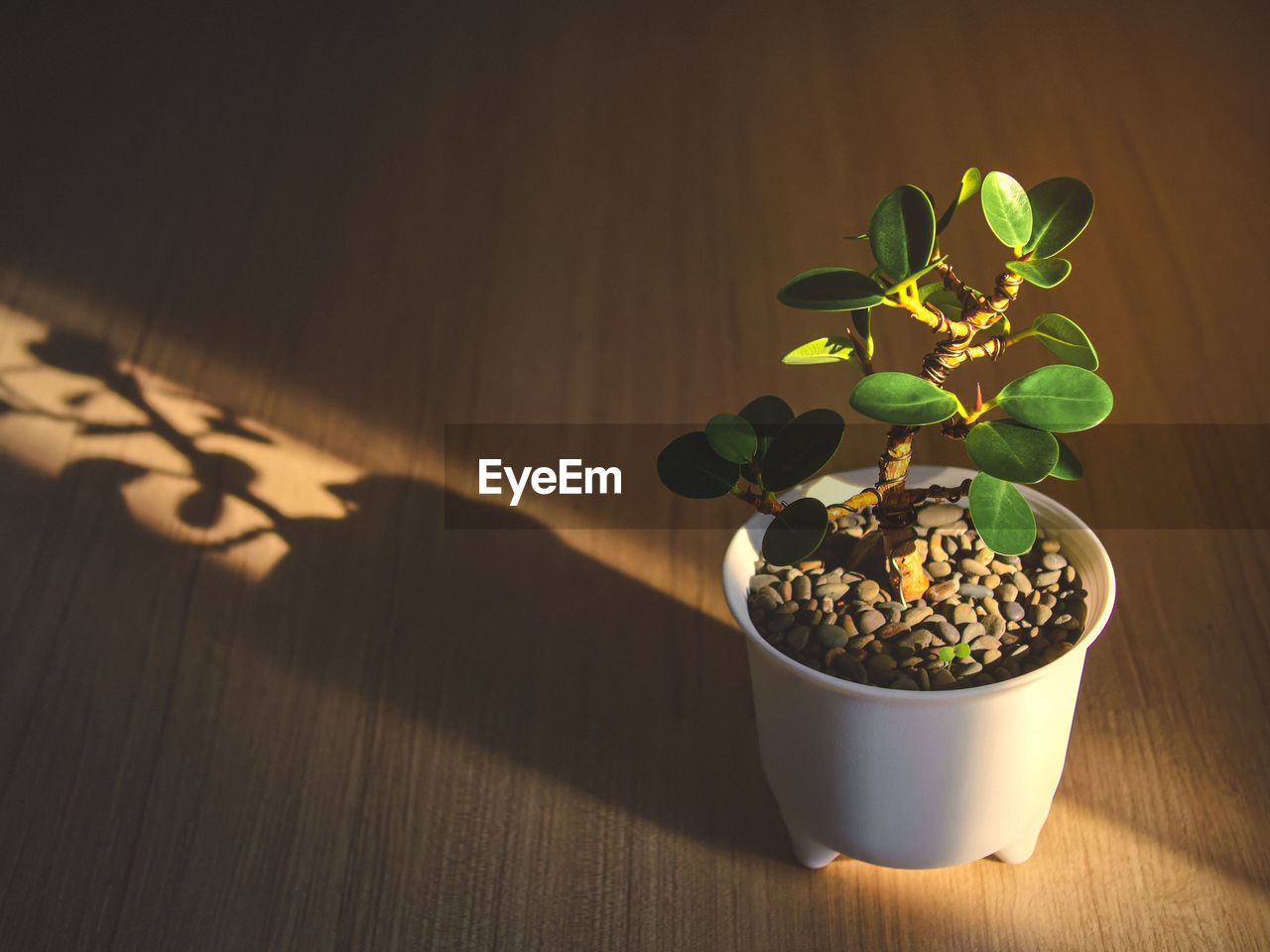 Ficus bonsai in white pot and sunshine morning placed on wooden floor, air purifying plants.