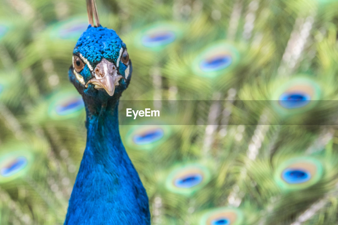peacock, animal themes, one animal, bird, animal, animal wildlife, vertebrate, close-up, animals in the wild, focus on foreground, blue, no people, portrait, day, animal head, animal body part, beak, nature, looking at camera, animal's crest, animal eye, animal neck, turquoise colored