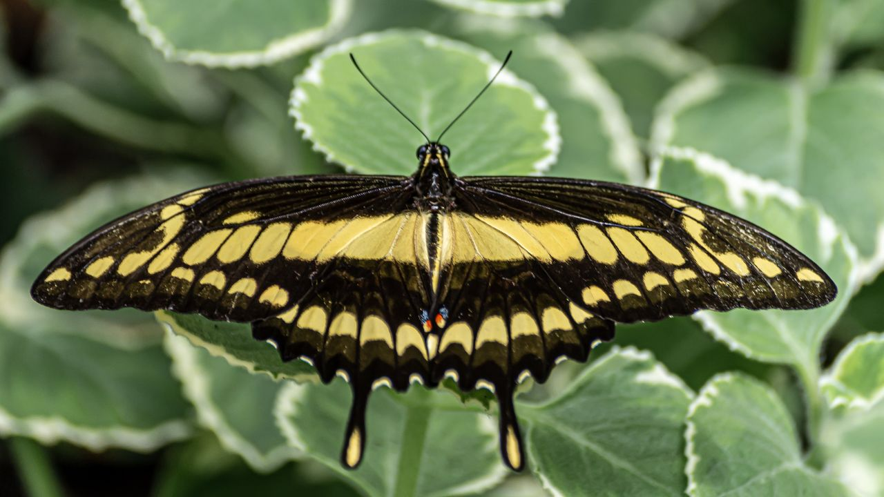 insect, invertebrate, one animal, animal wing, animals in the wild, butterfly - insect, animal wildlife, animal themes, leaf, animal, plant part, beauty in nature, close-up, plant, day, nature, animal markings, green color, no people, focus on foreground, butterfly, outdoors, flower head, pollination