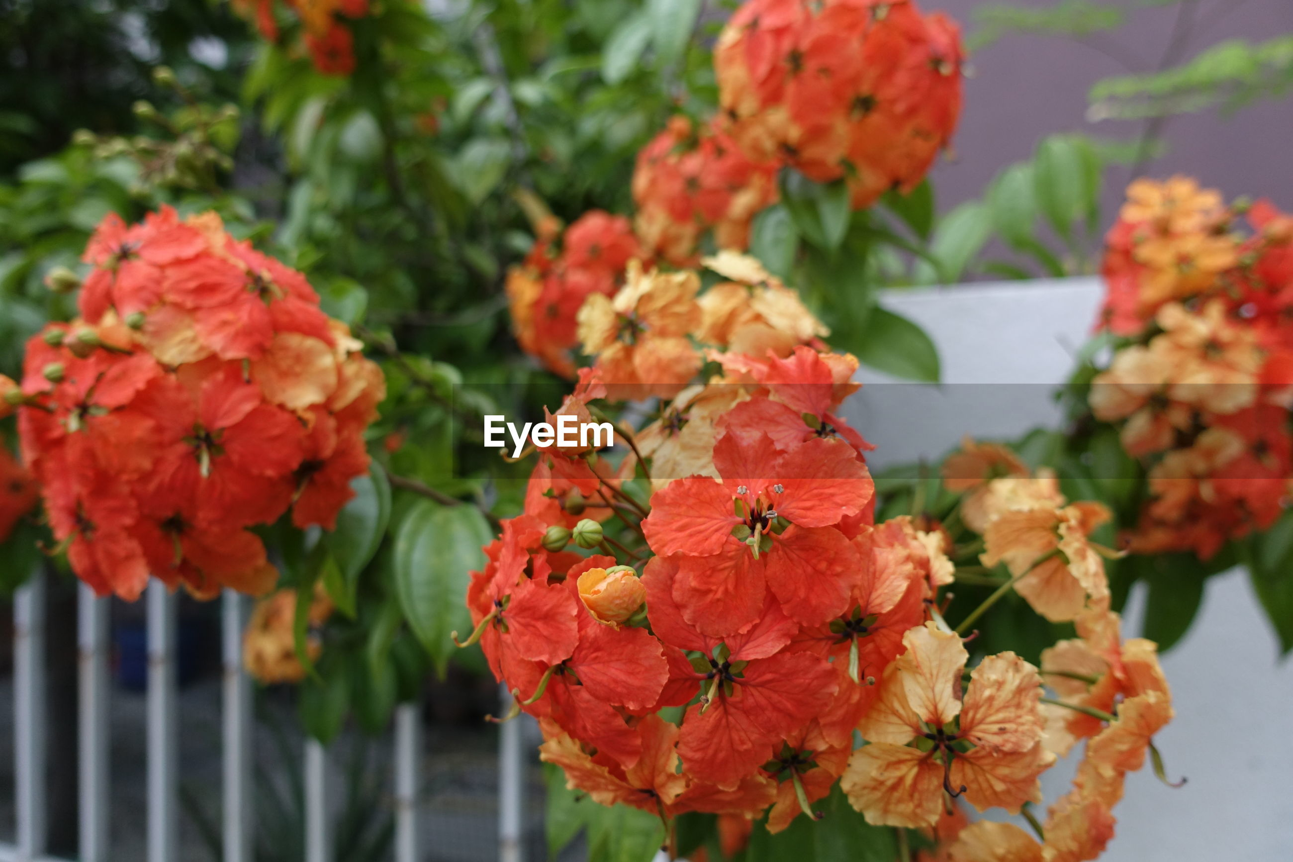 CLOSE-UP OF ORANGE FLOWERS BLOOMING