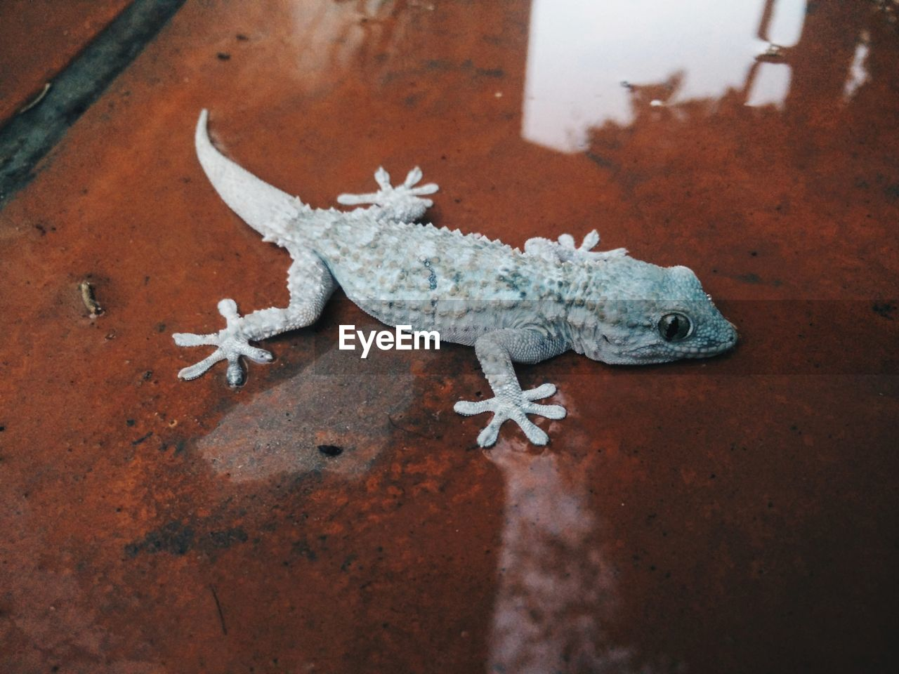 High Angle View Of Lizard On Wet Sheet Metal