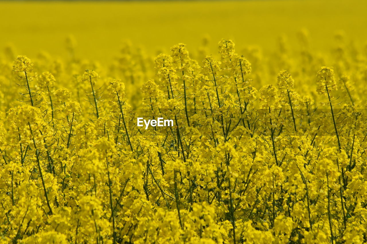 yellow, plant, growth, agriculture, flower, beauty in nature, land, field, flowering plant, oilseed rape, tranquility, rural scene, farm, landscape, scenics - nature, no people, crop, nature, day, tranquil scene, vibrant color, outdoors, springtime