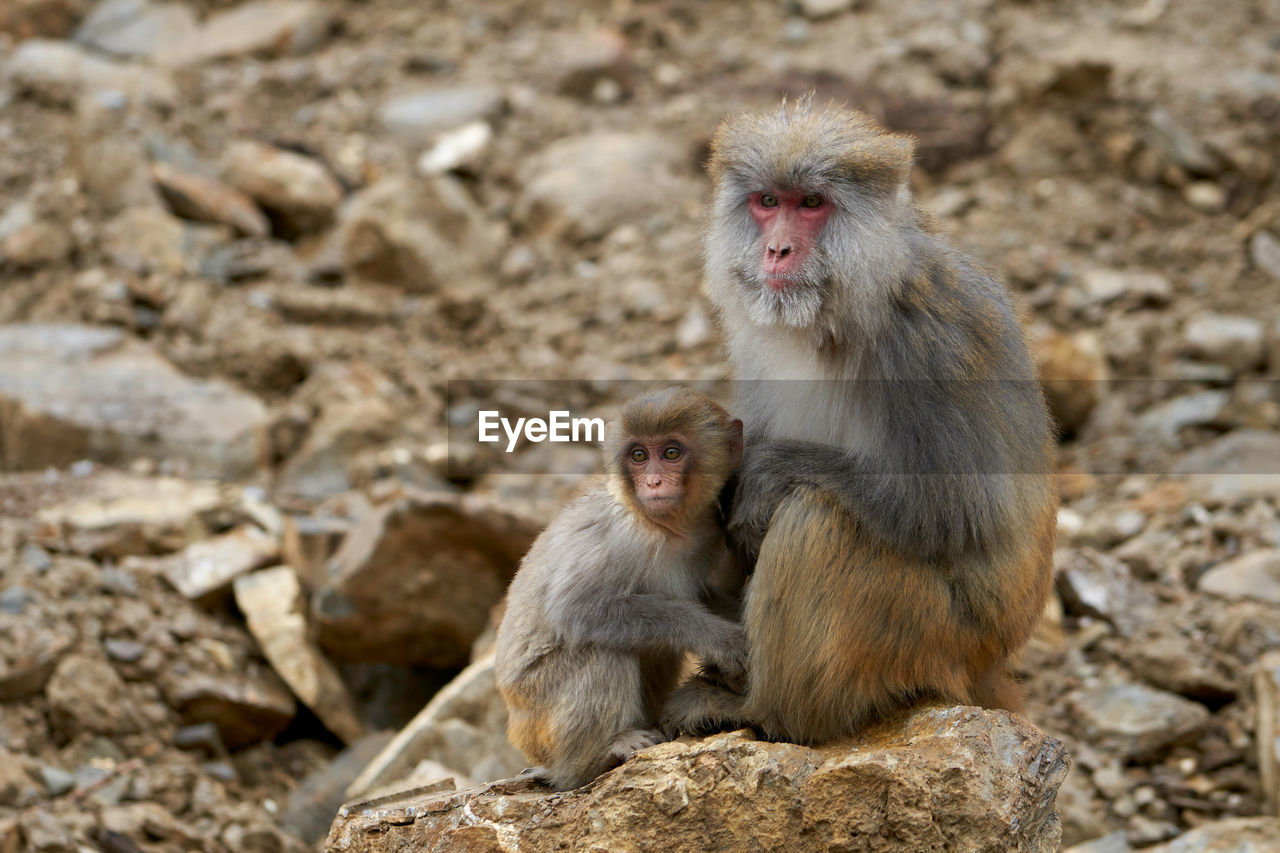 animal themes, animal, animal wildlife, animals in the wild, monkey, group of animals, primate, mammal, two animals, vertebrate, young animal, focus on foreground, solid, rock, sitting, rock - object, togetherness, day, no people, animal family, outdoors, care, animal head