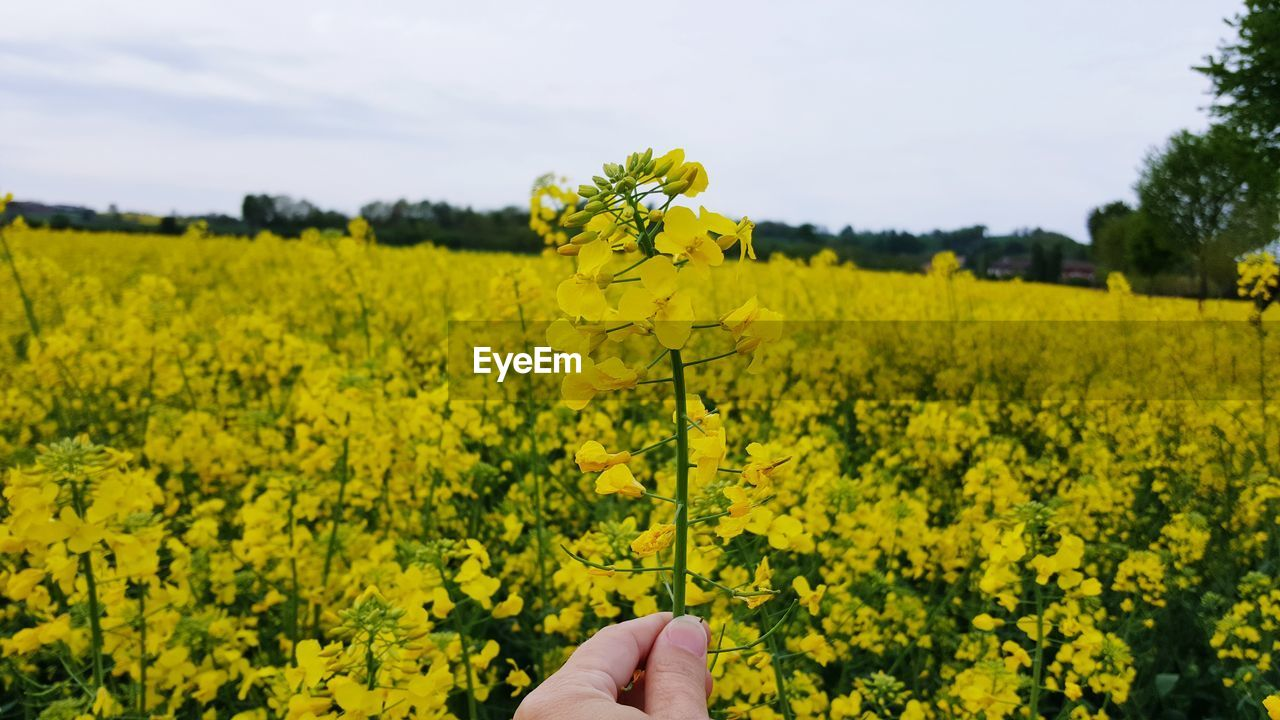 yellow, plant, flower, growth, beauty in nature, field, land, oilseed rape, one person, flowering plant, vulnerability, hand, nature, human hand, fragility, freshness, landscape, human body part, agriculture, real people, body part, finger, outdoors, springtime, flower head
