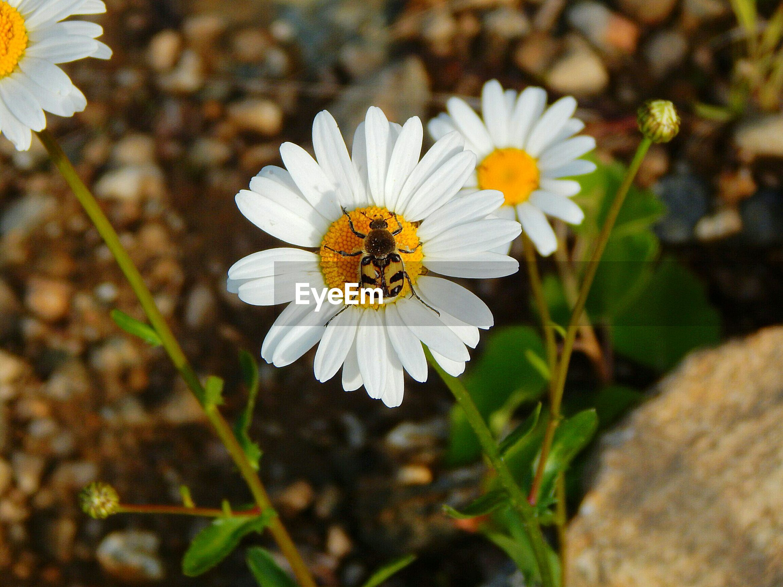 flower, insect, petal, white color, nature, one animal, animal themes, fragility, freshness, beauty in nature, flower head, growth, animals in the wild, high angle view, plant, day, outdoors, bee, no people, animal wildlife, pollination, blooming, close-up