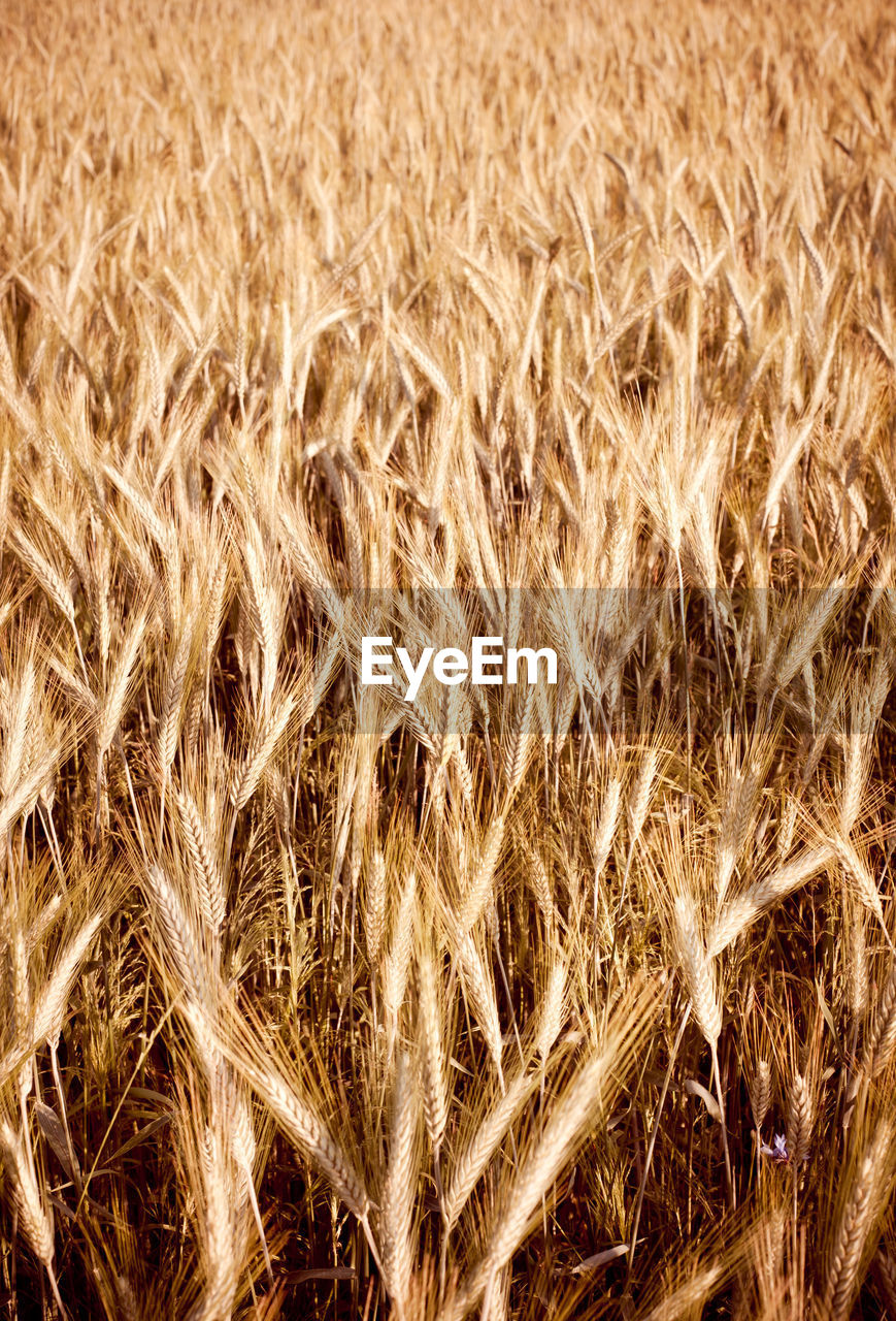 agriculture, crop, full frame, plant, backgrounds, nature, no people, cereal plant, field, farm, growth, land, close-up, rural scene, landscape, day, outdoors, gold colored, beauty in nature, tranquility, stalk