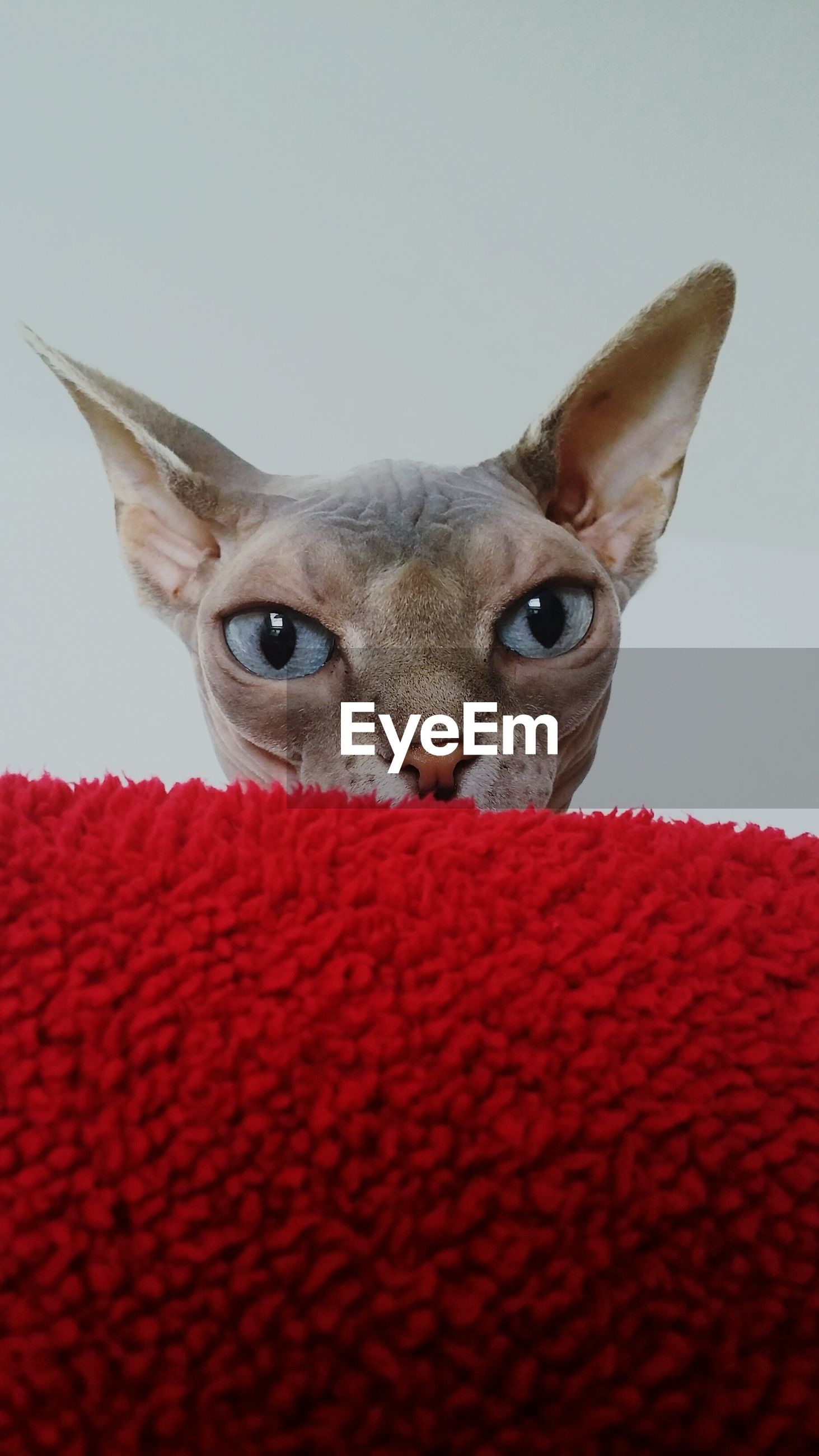 one animal, animal themes, domestic animals, pets, red, domestic cat, looking at camera, animal head, portrait, close-up, mammal, indoors, cat, feline, whisker, animal eye, copy space, animal body part, front view, no people
