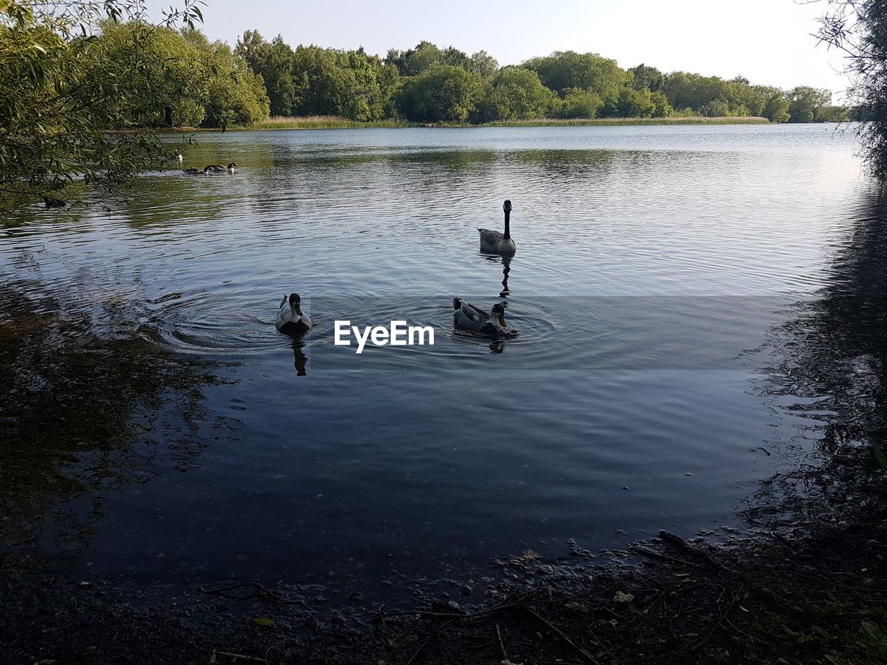 water, lake, bird, vertebrate, animal themes, tree, group of animals, animals in the wild, animal, plant, animal wildlife, reflection, nature, day, waterfront, two animals, swimming, beauty in nature, poultry, outdoors, no people, duck