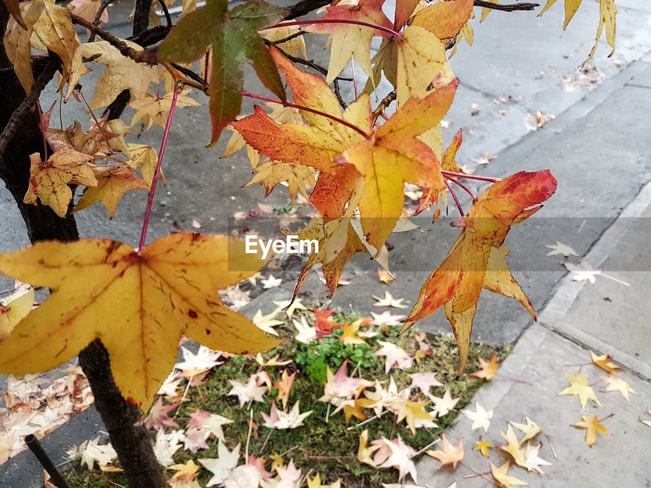 autumn, leaf, change, leaves, maple leaf, nature, outdoors, day, maple, high angle view, fallen, no people, yellow, beauty in nature, growth, fragility, close-up